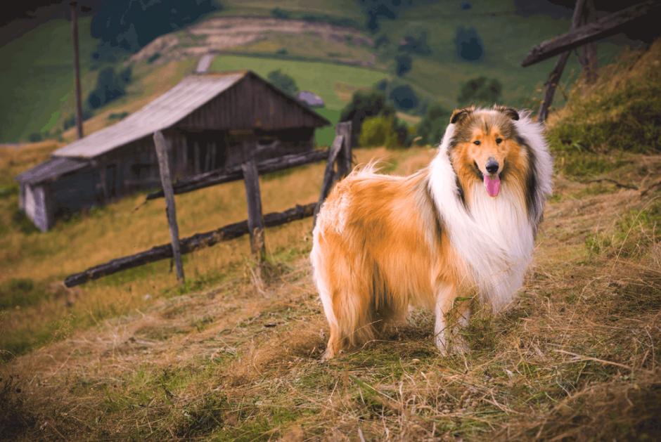 İtaat Eğitimi Köpek Nasıl Eğitilir?